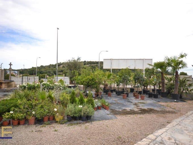 typische mallorquinische Pflanzen in Felanitx